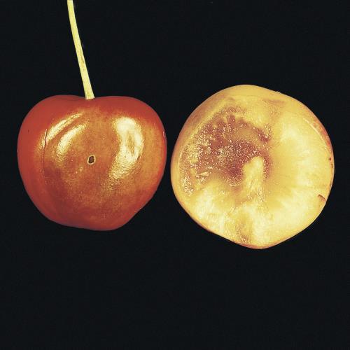 Kirschfruchtfliege_III.jpg