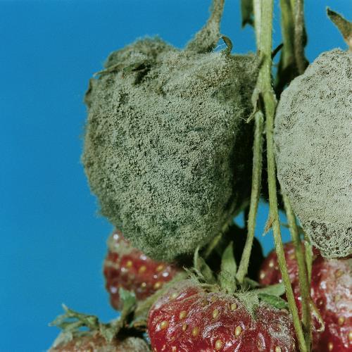 Botrytis-Fruchtfaeule_II.jpg