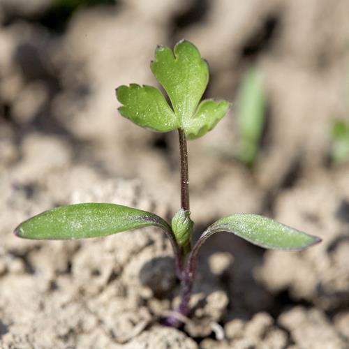 Aethusa cynapium02.jpg