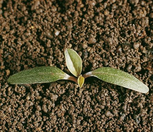Amaranthus blitoides01.jpg
