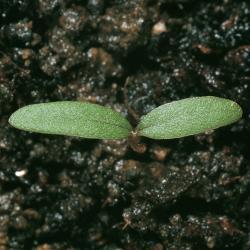Amaranthus hybridus01.jpg