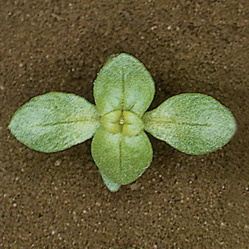 Anagallis arvensis02.jpg