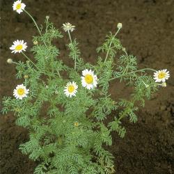 Anthemis arvensis04.jpg