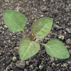 Chenopodium polyspermum02.jpg