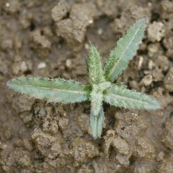 Cirsium arvense02.jpg