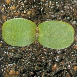 Galeopsis ladanum01.jpg