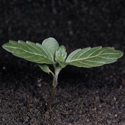 Galeopsis ladanum02.jpg