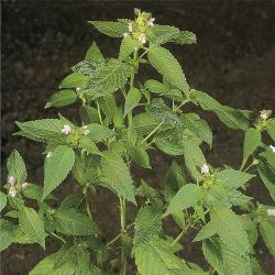 Galeopsis ladanum03.jpg