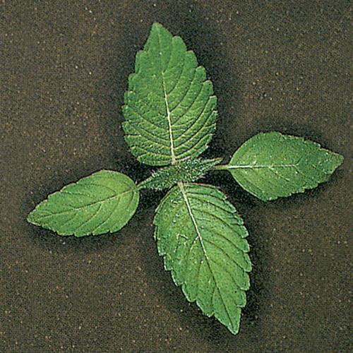 Galeopsis tetrahit02.jpg