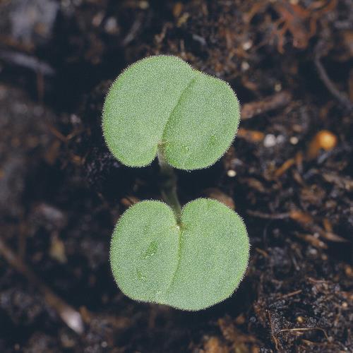 Geranium molle01.jpg