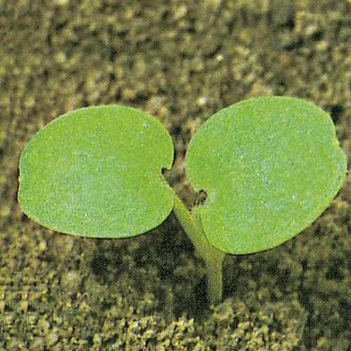 Lamium amplexicaule01.jpg