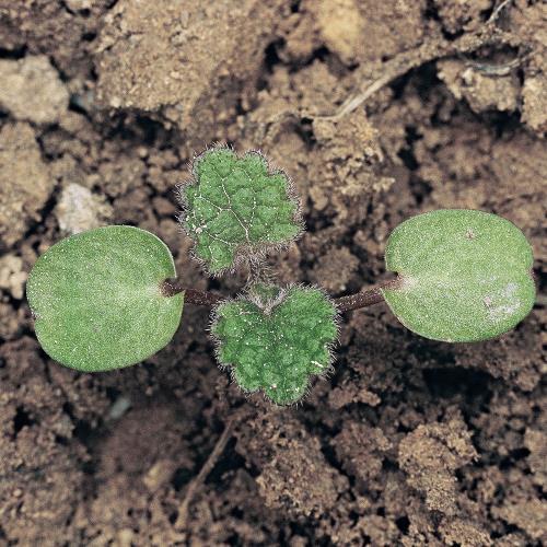 Lamium purpureum01.jpg