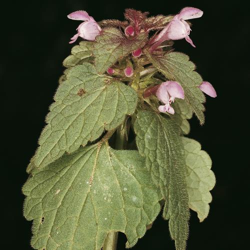 Lamium purpureum03.jpg