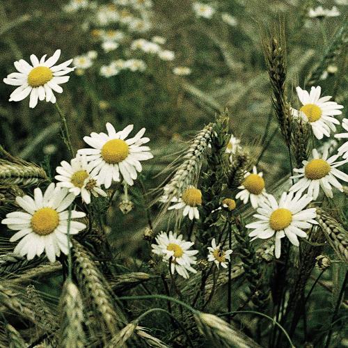 Matricaria chamomilla04.jpg