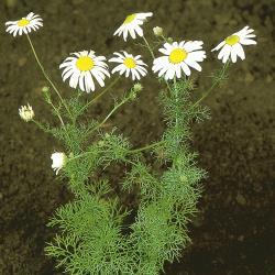 Matricaria inodora03.jpg