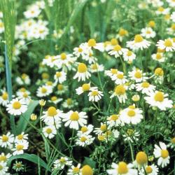 Matricaria inodora04.jpg
