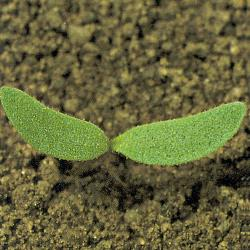 Polygonum persicaria01.jpg