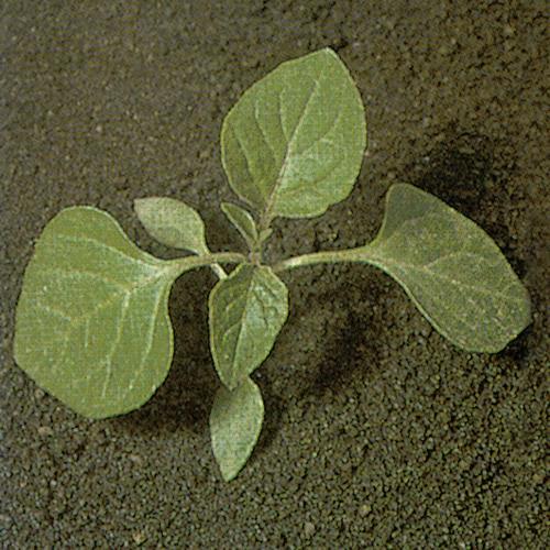 Solanum nigrum02.jpg