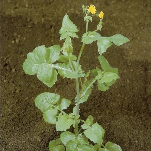 Sonchus oleraceus03.jpg