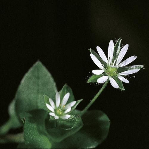 Stellaria media04.jpg