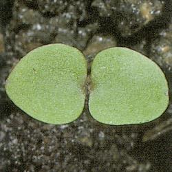 Veronica arvensis01.jpg