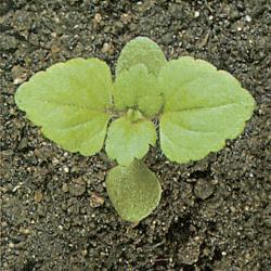 Veronica arvensis02.jpg