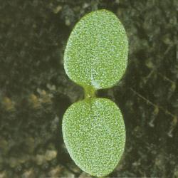 Viola arvensis01.jpg