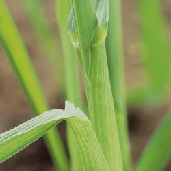 Bromus secalinus01.jpg