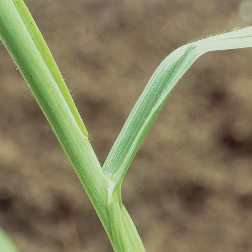 Bromus secalinus02.jpg