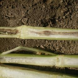 Corn stalk rot  © Bayer CropScience_C.jpg