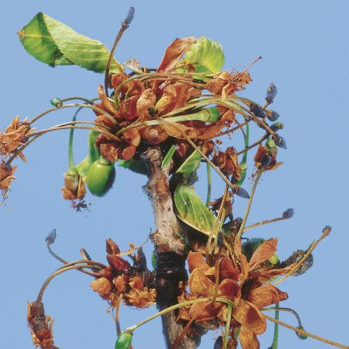 Blütenmonilia_Zweigmonilia.jpg